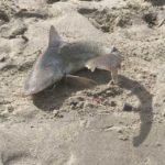 nurse shark on the beach